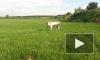 Перевозбужденный бык поднял на рога и до смерти затоптал фермера в Ленобласти