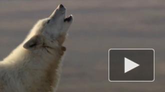 В Крыму волки нападали на троих людей