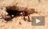 Фантастический рекорд скорости установил самый быстрый муравей в мире