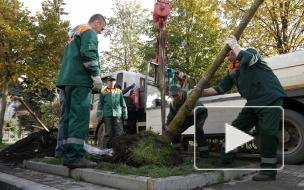 Зеленое восстановление: спустя год согласований на Петроградке посадили каштаны