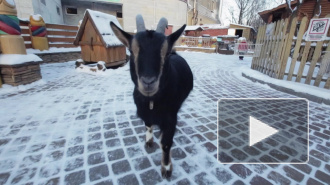Перед годом козы в зоопарке родились козлята