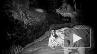 Тигрята в приморском нацпарке проверили фотоловушку на прочность