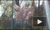 Видео: в Ботаническом саду зацвела сакура