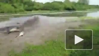 Видео: 4-метровый крокодил утащил у рыбаков улов