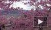 В Ботаническом саду на днях зацветет сакура