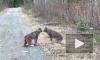Ссора диких кошек насмешила зрителей
