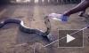 Удивительное видео из Индии: местные жители спасли кобру от смерти