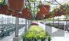 Весной Петербург будут украшать восемь миллионов цветов