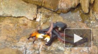 Битва краба и осьминога стала суперхитом YouTube