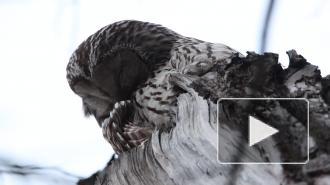 Петербуржцам показали спящих сов с Елагина острова
