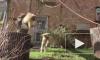 Видео: Гиббоны из Ленинградского зоопарка активно проводят время на самоизоляции