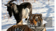 Популярного тигра Амура отправят в парк Краснодарского ...