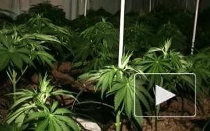 Под Приозерском наркоманам не дали вырастить марихуану