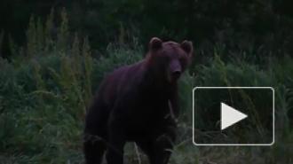 В Приморье медведь снял скальп с женщины и загрыз несколько собак