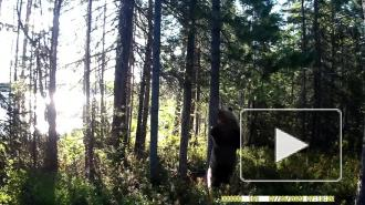 """Медведь из Кандалакшского заповедника """"станцевал"""" под Джо Кокера"""