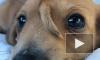 В США спасли щенка с хвостом на лбу