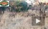 Медоед противостоял прайду голодных львов и попал на видео