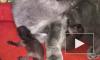 Заботливое видео из Владивостока: Кошка взяла на воспитание новорожденных детенышей енота