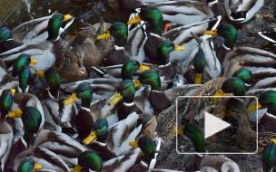 Орнитолог объяснил, можно ли подкармливать уток на водоемах Петербурга