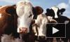 Россия с 20 марта прекращает ввоз живого скота из стран ЕС