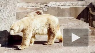 Белый медвежонок в Ленинградском зоопарке растрогал петербуржцев до слез