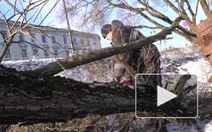 В Выборге продолжают омолаживание деревьев
