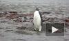 Пингвин-путешественник отправляется домой в Антарктиду на научно-исследовательском судне