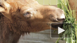 Горе-зоозащитники отняли лосят у матери и смертельно отравили
