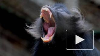 В Крыму обезьяна загрызла младенца на глазах у родителей