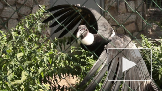Хищные птицы зоопарка пренебрегли свободой