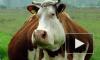 Сытые немецкие коровы испустили газы и взорвали коровник