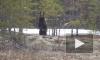 В ХМАО мужчина в лесу столкнулся с голодным медведем и снял его на видео