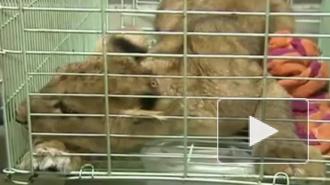 Израненного львенка незаконно везли в купе поезда Петербург - Москва