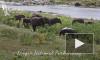 Одинокий бегемот вырвался из окружения слонов и скрылся в реке