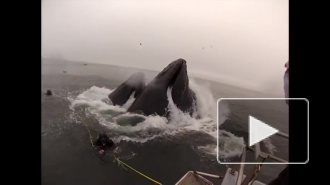Видео с китами, атакующими дайверов, стало хитом