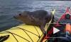 Шотландец покатал дикого тюленя на байдарке и снял на видео