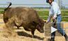 Петербургские зоозащитники решили пободаться с ковбоями