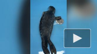 Из поселка Лебяжье в Фонд друзей балтийской нерпы привезли истощенную тюленьку
