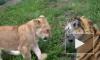 Тигренок и львенок играют