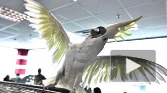 ЧМ-2014, РФ - Алжир: попугай-пророк сделал новый прогноз