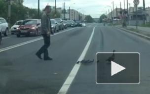 Видео: Утка-нарушительница с утятами переходила дорогу на Краснопутиловской