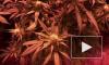 Калейдоскоп городских будней: ликвидирована целая лаборатория по выращиванию марихуаны