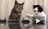 Забавное видео из Японии: коты подчинили себе человека