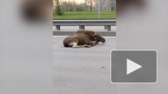 На Пулковском шоссе автомобиль сбил лося