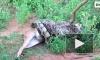 Туристы в Шри-Ланке сняли на видео, как питон полностью заглотил оленя