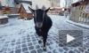 В Ленинградском зоопарке в преддверии года козы родились детеныши камерунской карликовой козы
