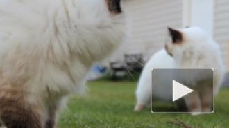 Россияне больше всего любят котов породы священная бирма