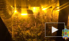 Два жителя Подмосковья выращивали коноплю