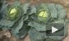 Ярмарки в Петербурге: где купить капусту без ГМО и тетради к 1 сентября