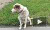 В Петербурге появился местный Хатико. Пес передвигается по городу на транспорте в поисках дома